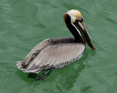 A pelican in the water.