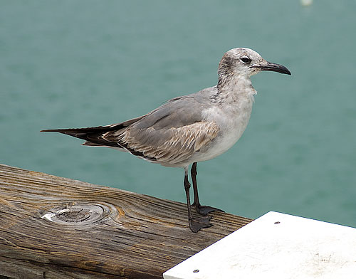 The nastiest looking seagull in all of Florida.