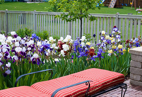 The irises in full bloom