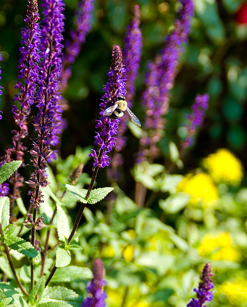 Bumblebee on the salvia