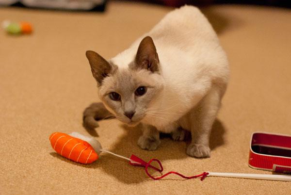Savannah jealously guards her catnip toy